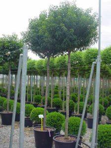Prunus lusitanica 'Angustifolia' Hochstamm - Tipps zum Rückschnitt gibt es hier