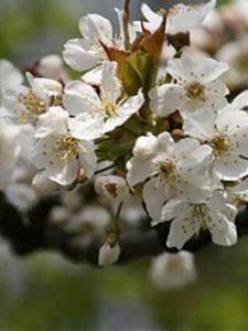 Prunus avium / Süss-Kirsche / Vogel-Kirsche - gutes Bienennährgehölz