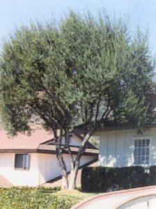 Olea europaea 'Cipressino' / Cipressino-Olive - stammt aus Italien und Früchte sind essbar