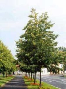 Tilia cordata 'Roelvo' / Winterlinde 'Roelvo' - wird 10-15 Meter hoch