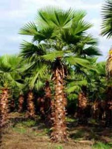 Washingtonia robusta / Petticoat-Palme / Mexikanische Washington-Palme