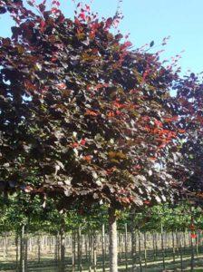 Fagus sylvatica 'Purpurea' / Blutbuche 'Hochstamm-Spalier'