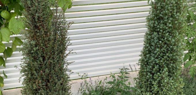 Juniperus communis 'Sentinel' / Säulenwacholder 'Sentinel'