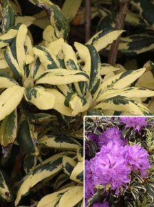 Rhododendron Hybride 'Caroline Spring' / Rhododendron 'Caroline Spring'