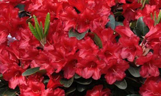 Rhododendron - wie hier Rhododendron repens 'Rotkäppchen' auf Stamm - lieben leicht sauren Boden