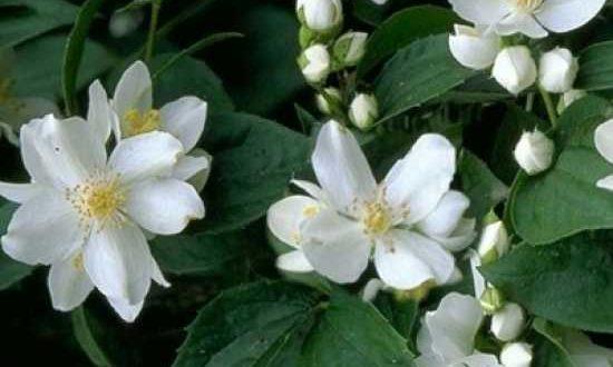 Philadelphus coronarius / Europäischer Pfeifenstrauch - eignet sich gut für Blütenhecke