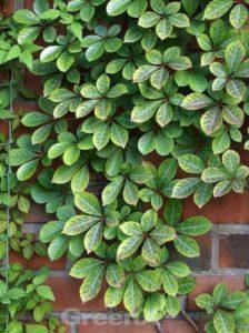 Parthenocissus henryana / Chinesische Jungfernrebe - zur Begrünung einer Holzwand geeignet