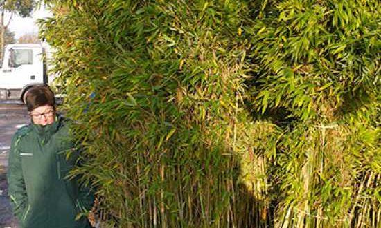 Fargesia murielae 'Jumbo' - wächst immer etwas buschig