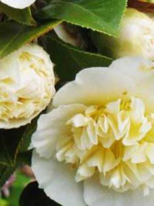 Camellia japonica gelb / Japanische Kamelie gelb - ideal ist eine Frühjahrspflanzung bei Freilandpflanzen, damit sie gut einwurzeln können