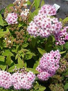Spiraea japonica 'Little Princess' / Rosa Zwerg-Spiere - eignet sich gut für eine Wall- und Böschungsbepflanzung