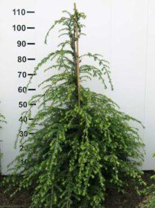 Tsuga canadensis / kanadische Hemlocktanne - als ungiftige und immergrüne Kübelpflanze gut geeignet