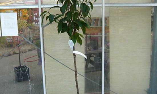 Prunus serrulata 'Kanzan' / Japanische Nelken-Kirsche - hier mit 110cm Stammlänge