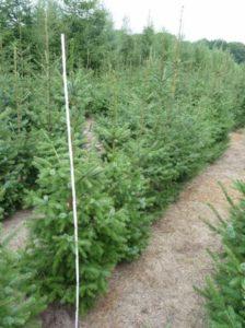 Picea omorika / Omorika-Fichte / Serbische Fichte  der Größe 175-200cm - ca. zwei Pflanzen pro Laufmeter Hecke sind empfehlenswert