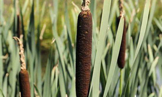 Typha latifolia / Breitblättriger Rohrkolben - für Standorte mit Staunässe geeignet