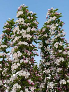 Malus 'Red Sentinel' / Zierapfel 'Red Sentinel'  bietet reichtlich Früchte und Blüten - ideal für Vögel und Insekten