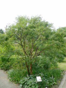 Acer griseum / Zimt-Ahorn - Wurzelform hängt immer von den lokalen Standortbedingungen ab