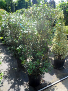 Osmanthus heterophyllus / Ilexblättrige Duftblüte