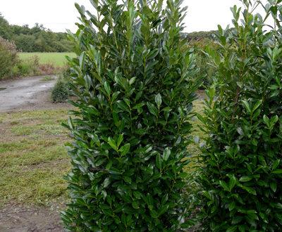 Kirschlorbeer - wie hier bspw. die Sorte Prunus Elly - sollte nach dem Pflanzen zurückgeschnitten werden