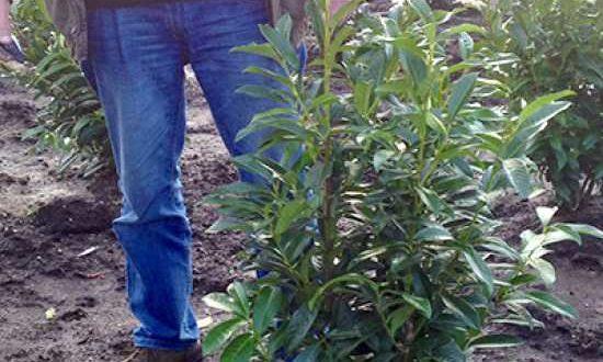 Kirschlorbeer - wie hier die Sorte Genolia - sollte als Ballenware nach dem Einpflanzen zurückgeschnitten werden