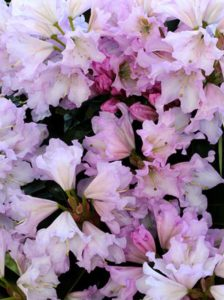 Rhododendron Hybride 'INKARHO Dufthecke lila®' / Rhododendron 'INKARHO Dufthecke lila'
