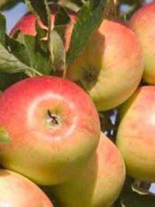 Malus domestica 'Alkmene' / Apfel 'Alkmene' - bildet lecker-aromatische Früchte aus