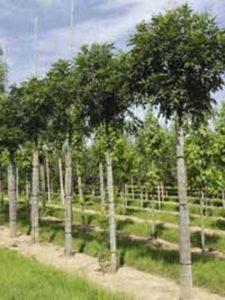 Fraxinus excelsior 'Nana' / Kugel-Esche -wird bis zu 6m hoch und 3-5m breit