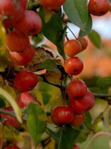 Früchte des Zierapfels Malus Evereste