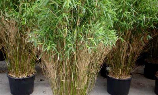 Bambus Fargesia sollte immer ausreichend gedüngt werdena