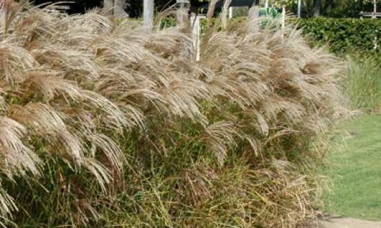 Miscanthus sinensis 'Flamingo' / Chinaschilf 'Flamingo'