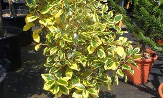Die Ölweide - hier die Sorten Elaeagnus ebbingei 'Gilt Edge' - eignet sich als Kübelpflanze für den Balkon