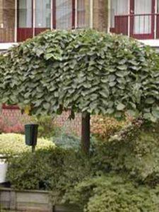 Ulmus glabra 'Pendula' / Hänge-Ulme - bildet auch ohne Spalier eine Dachform aus