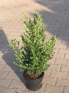 Ilex crenata 'Dark Green' / Buchsblättrige Japanische Hülse 'Dark Green' - eine  sehr gute Buchsbaum-Alternative
