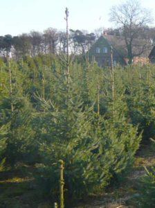 Picea omorika / Serbische Fichte 175-200 cm - ca. zwei Pflanzen sollte man pro Laufmeter Hecke setzen
