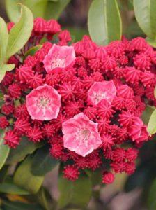 Kalmia latifolia 'Carol' / Lorbeerrose 'Carol' / Berglorbeer 'Carol' - mit wunderschöner Blütenpracht und sehr frosthart