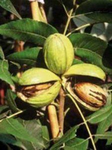 Carya illinoinensis / Pekannuss - ein Pflanzabstand von 50m ist für die Bestäubung ausreichend