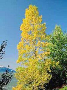 Populus balsamifera / Balsam-Pappel Vorschau: Populus balsamifera / Balsam-Pappel - gut für einen Standort am Hang geeignet
