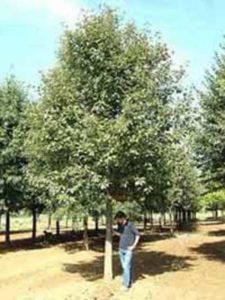 Sorbus intermedia / Schwedische Mehlbeere / Oxelbeere - gut als Alleebaum geeignet