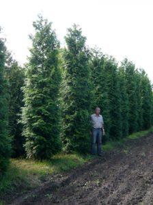 Größe Gehölze und Heckenpflanzen - wie hier eine Thuja plicata 'Gelderland' / Lebensbaum 'Gelderland' 500-600 cm Solitär - werden mit hauseigenem Fuhrpark geliefert