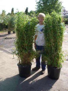 Bambus Fargesia - hier die Sorte Jumbo - benötigt ausreichend Dünger für ein gutes Wachstum