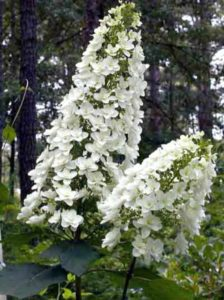 Hydrangea quercifolia 'Snowflake' / Eichenblatt-Hortensie 'Snowflake'