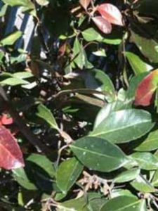 Viburnum henryi / Chinesischer Schneeball - die Früchte sind auf jeden Fall nicht zum Verzehr geeignet