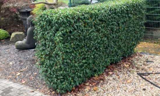Prunus lusitanica 'Angustifolia' / portugiesischer Kirschlorbeer - kann bei akutem Nährstoffmangel mit Wuxal behandelt werden