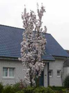 Prunus serrulata 'Amanogawa' / Säulen-Zierkirsche 'Amanogawa' - jetzt am besten nur einen Auslichtungsschnitt vornehmen