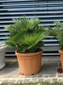 Exotische Kübelpflanzen am besten geschützt oder im Innenraum überwintern -aber auf ausreichend Licht achten