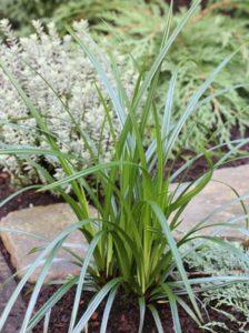 Carex foliosissima 'Irish Green' / Teppich-Japan-Segge - gut für Balkonkästen geeignet