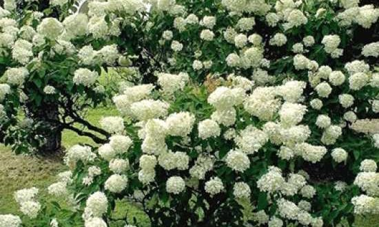 Hydrangea paniculata 'Grandiflora ®' / Rispen-Hortensie 'Grandiflora' - begeistert mit toller Blütenpracht