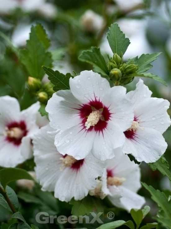 Winterhart hibiskus große blüten Hibiskus überwintern: