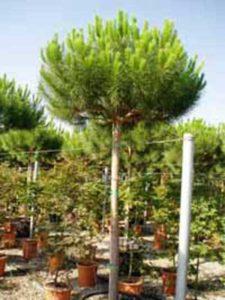 Pinus pinea / Italienische Stein-Kiefer / Mittelmeer-Kiefer / Schirmkiefer - wunderschönes Gehölz, benötigt aber einen gut geschützten Standort
