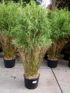 Bambus Fargesia Jumbo - sorgt für einen schnellen Sichtschutz