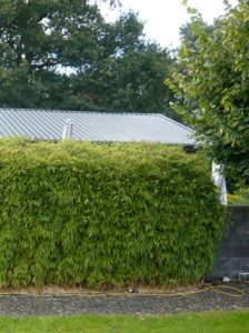 Gartenbambus Fagesia Jumbo - Rückschnitt und Düngung bringen die Vitalität zurück